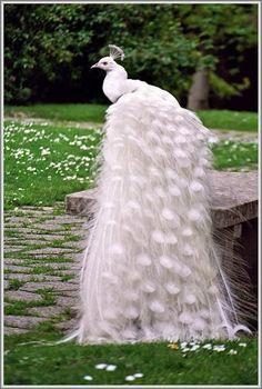 Невеста Павлина ♥ Удивительно Белый Павлин, Как Невеста ♥ домашних животных на Свадьбу