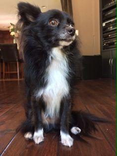 Black & White Hairy Long Chihuahua