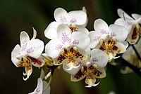 Phalaenopsis - Wikimedia Commons