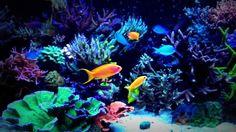 Red sea Max 500s bac recifal sps Sea Aquarium, Saltwater Aquarium, Pretty Fish, Red Sea, Aquariums, Fish Tank, Videos, Animals, Saltwater Tank