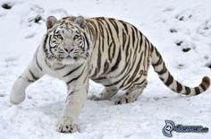 Weiser Tiger, Schnee