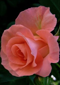 Beautiful Rose Flowers, Pretty Roses, Flowers Nature, Amazing Flowers, Beautiful Flowers, Rose Pictures, Flower Photos, Pink Roses, Pink Flowers