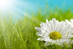 Nature background - beautiful flower on green field