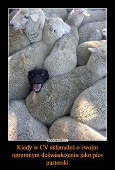 An image tagged dogs,funny dogs,sheep Cute Funny Animals, Funny Animal Pictures, Cute Baby Animals, Funny Dogs, Animals And Pets, Funny Memes, Dog Memes, Hilarious Pictures, Farm Animals