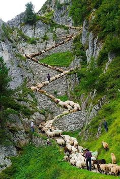 Sheep zig-zag up trail in Switzerland! A flock of alpine sheep walk on a cliff path on the way from summer grazing high above the Aletschgletscher glacier down to Belalp in the canton of Valais,. Oh The Places You'll Go, Places To Travel, Places To Visit, Beautiful World, Beautiful Places, Wonderful Places, Fotojournalismus, Zermatt, Ireland Travel
