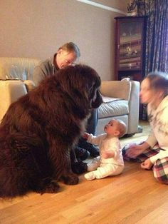 Dogs : Newfoundland Dog Info and Pictures Animals And Pets, Baby Animals, Funny Animals, Cute Animals, Huge Dogs, I Love Dogs, Small Dogs, Beautiful Dogs, Animals Beautiful