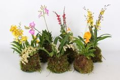 Forest Orchids mix