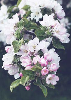 Apple blossoms. (Äppelblom.)