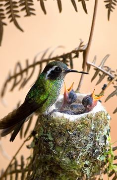 Hummingbird at nest with young bird