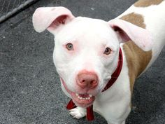 GONE --- TO BE DESTROYED 5/18/14  Manhattan Center -P   My name is REDD. My Animal ID # is A0999716.  I am a neutered male white and tan pit bull mix. The shelter thinks I am about 2 YEARS    I came in the shelter as a OWNER SUR on 05/13/2014 from NY 10457, owner surrender reason stated was COST.   https://www.facebook.com/photo.php?fbid=804199749592906&set=a.617938651552351.1073741868.152876678058553&type=3&permPage=1