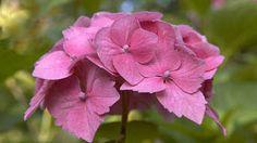 Keď hortenzii chýba železo: Trápi nedostatok aj vašu rastlinu?