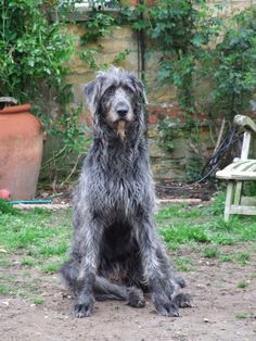 My Irish Wolfhound Pixie..how can u NOT love THAT face....?