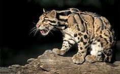 leopardos nublados - Buscar con Google
