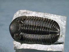 Phacops rana trilobite