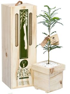 Native Tree Gifts, Kowhai Tree Gift Box by Trees Please! small native trees delivered within NZ