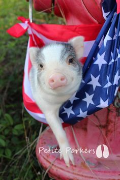 Mini Teacup Micro Nano Dwarf Little Pet Piggies available - petite porkersLittle Piggies - petite porkers