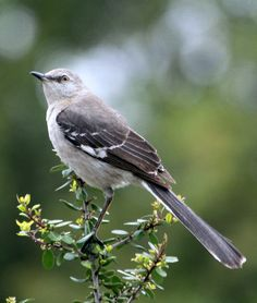 If you've been hearing an endless string of 10 or 15 different birds singing outside your house, you might have a Northern Mockingbird in your yard. They sing almost endlessly, even sometimes at night, and they flagrantly harass birds that intrude on their territories, flying slowly around them or prancing toward them, legs extended, flaunting their bright white wing patches. http://www.youtube.com/watch?v=CMpe34Aign4