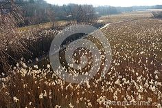 An elevated view of a wetland bird sanctuary on Lake Neuchâtel in Switzerland shows a long boardwalk going through beautiful backlit glowing tall grass seed heads. Grass Seed, Switzerland, Glow, Stock Photos, Bird, Nature, Image, Beautiful, Naturaleza
