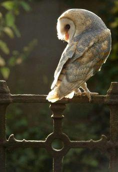 Barn owl on iron gate.                                                       …