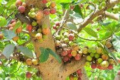 गूलर का पेड़ बनता है विवाह का साक्षी
