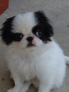 Our Japanese Chin.