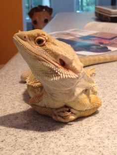 The Bearded Dragon Is The Coolest Reptile In The World Bearded Dragon Habitat, Bearded Dragon Cage, Bearded Dragon Funny, Cute Reptiles, Reptiles And Amphibians, Cute Funny Animals, Cute Baby Animals, Cute Lizard, Pet Lizards