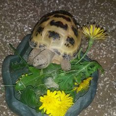 Chantelle's Horsefield, he likes his dandelions! Cute Tortoise, Tortoise Habitat, Russian Tortoise Care, Kawaii Turtle, Tortoises, Dandelions, Turtles, Habitats, Community