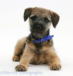 Dog: Border Terrier pup photo