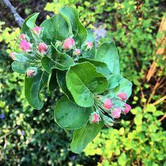 Suosikkivuodenaikakuvat jatkuu vaan. Kohta aukeaa!  #kevät #toukokuu #spring #omenapuu #appletree #nuppu #kukka #piha #puutarha #igersoftheday #rsa_ladies #nature  #outdoor #life #futuremarja  #järvenpää #mikääneioleniintärkeääkuinpuutarhanhoito