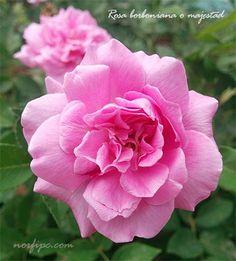 Flores de la Rosa majestad o rosa borboniana, del tipo de rosales antiguos