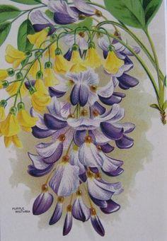 1920s Vintage Purple Wisteria Botanical Lithograph