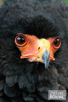 L'aigle bateleur est un oiseau que l'on trouve en Afrique.