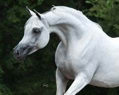 Bint Al Riyahh Thee Asil x Emperial Sparkle Photo by Suzanne Sturgill Beautiful Arabian Horses, Pretty Horses, Andalusian Horse, Friesian Horse, Black Horses, Draft Horses, Horse Pictures, Horse Photography, Horse Breeds