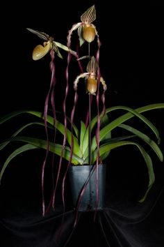 Paphiopedilum 'Screaming Eagle'