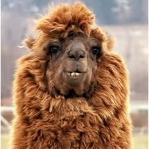 Alpaca..with the most interesting face