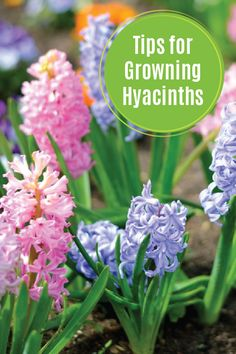 Give your flower beds a little something extra this spring by planting some beautiful hyacinths. These colorful flowers act as a great base for your garden thanks to their tall and fragrant blooms. Check out this article for helpful tips that you can use while growing this perfect perennial. Be sure to use your favorite Depend® incontinence product when working outdoors to make sure you're protected against bladder leakage.