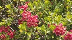 Alpenrosensteig Lermoos - Heiterwang Plants, Travel, Plant, Planting, Planets