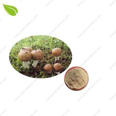 Agaricus Blazei Murill Powder | Agaricus Blazei Murill Powder Manufacturer | Agaricus Blazei Murill Powder Supplier