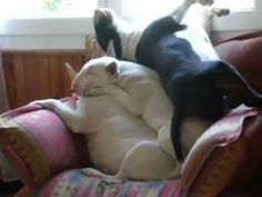 Watch These Bull Terriers Sleep On Top Of Each Other - NoWayGirl