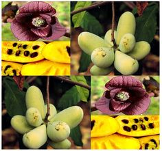 MySeeds.Co - Asimina triloba, the pawpaw, paw paw, paw-paw - TREE SEED - Large Edible Fruits - LEAVES ARE NATURAL INSECT REPELLENTS - Hardy To Zone 5, $5.00 (http://www.myseeds.co/asimina-triloba-the-pawpaw-paw-paw-paw-paw-tree-seed-large-edible-fruits-leaves-are-natural-insect-repellents-hardy-to-zone-5/)