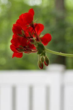 Geranium Thyme