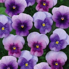Sorbet Beaconberry Viola - Annual Flower Seeds