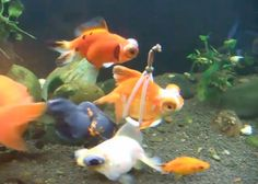 Daaaaw: Disabled Goldfish Gets Underwater 'Wheelchair' | Geekologie  It's cute and makes you smile