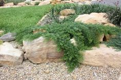 Myoporum parvifolium 'Yareena' • Australian Native Plants Nursery • Plants • 800.701.6517