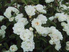 Rosier Yvonne Rabier : bas (70cm), bien parfumé,  sain, et florifère, peu épineux