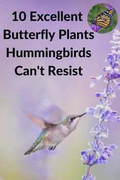 Some excellent butterfly plants multitask — they double the fun by attracting hummingbirds too. Add a few of these nectar-rich butterfly plants to your garden and soon you'll have hummingbirds zipping around as well. Hummingbird Nectar, Hummingbird Flowers, Hummingbird Garden, Hummingbird Food, Hummingbird Photos, Flowers That Attract Hummingbirds, How To Attract Birds, Attracting Hummingbirds, Flowers To Attract Butterflies