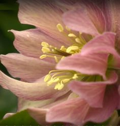 Helleborus the king of the shade garden