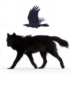 lupus lupus  ✈  le corbeau illustration animale