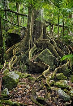 rainforest tree roots, Mt Warning National Park, Australia by vicsax Weird Trees, Unique Trees, Tree Roots, Tree Forest, Amazing Nature, Wonders Of The World, Nature Photography, National Parks, Scenery