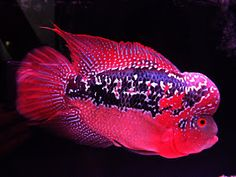 Flowerhorn The Hybrid Cichlids: Red King Kamfa Tropical Freshwater Fish, Freshwater Aquarium Fish, Saltwater Aquarium, Tropical Fish, Pretty Fish, Cute Fish, Beautiful Fish, Aquariums, Oscar Fish